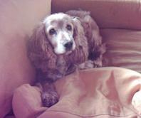 bobby-dog